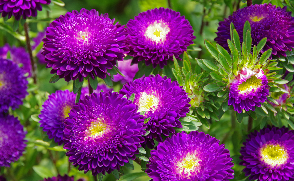 matsumoto asters  my happy flower  posypug, Natural flower